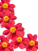 Flowers decorative large red petals — Stock Photo