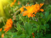 Flowers camomiles autumn — Stock Photo