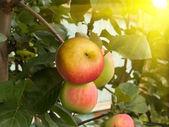 Fruit apples tree — Stock Photo
