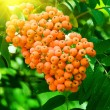 Mountain ash berries on a tree — Stock Photo