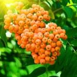 Mountain ash berries on a tree — Stock Photo