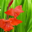 Flower gladiolus — Stock Photo #1263048