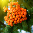 Foto de Stock  : Mountain ash on tree