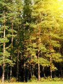 Hout pine — Stockfoto