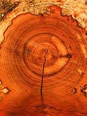オークの木を切る — ストック写真