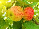Apples tree — Stock Photo