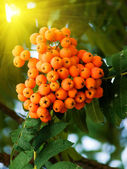 Mountain ash on a tree — Stock Photo