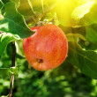 Apple  branch  tree — Stock Photo