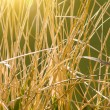 Stock Photo: Stalks dry grasses