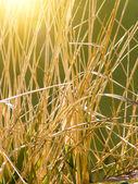 Stalks dry grasses — Stock Photo