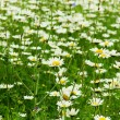 Camomile flowers — Stock Photo #1322159
