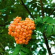 Mountain ash berries on a branch — Stock Photo