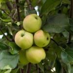 mele verdi su un ramo — Foto Stock #1329120