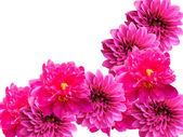 Flowers peonies and dahlias — Stock Photo