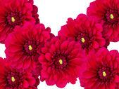 Flowers dahlias a close up — Stock Photo