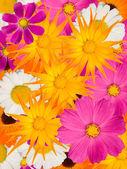 Camomile flowers decorative — Stock Photo