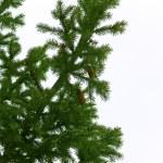 Tree fur-tree branches — Stock Photo