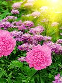Flowers dahlias — Stock Photo
