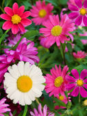 Flowers asters camomiles — Stock Photo