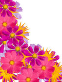 Kamille-blüten — Stockfoto