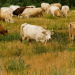 Cows  herd  animals — Stock Photo