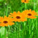 Flowers camomiles yellow petals — Stock Photo #2339197