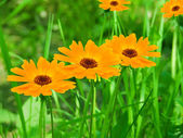Flowers camomiles yellow petals — Stock Photo