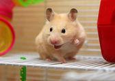 Cream hamster — Stock Photo