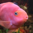 Red parrot fish — Stock Photo #1250863