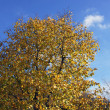 Yellow tree on sky — Stock Photo