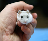 Little white hamster — Stock Photo