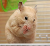 Cream hamster — Stock Photo