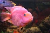 Rode papegaai — Stockfoto