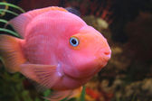 Red parrot fish — Foto Stock