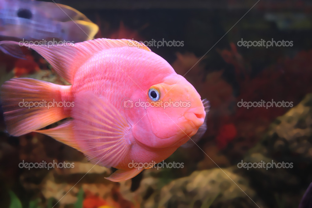 Red parrot fish for sale for Parrot fish for sale