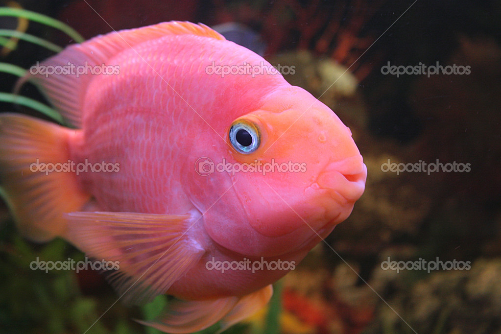 Red parrot fish stock photo alexkalashnikov 1250863 for Red parrot fish