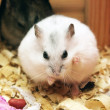 Two phodopus hamster — Stock Photo
