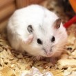 White phodopus hamster - Stock Photo