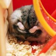 Grey phodopus hamster — Stock Photo #1366238