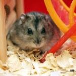 Grey phdopus hamster — Stock Photo