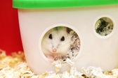 White phodopus hamster — Stock Photo