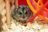 Grey phdopus hamster — Stock Photo