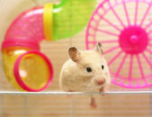 Syrian hamster — Stock Photo