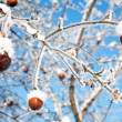 Winter Apples — Stock Photo #1542028