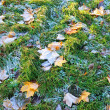 Maple leaves covered with frost — Stock Photo