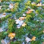 esdoorn bladeren bedekt met vorst — Stockfoto