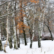 Stock Photo: White snow and white birches