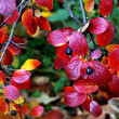 Shrub with red leaves — Stock Photo
