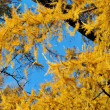 Stock Photo: Golden Larch