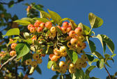Small rosy apples on a branch — Stock Photo